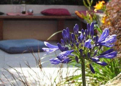 Contemporary Town Garden - Agapanthus - Greenspace Garden Design