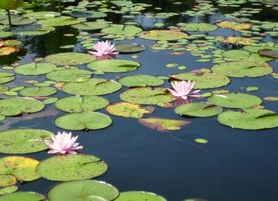 Greenspace Garden Design - Water lilies